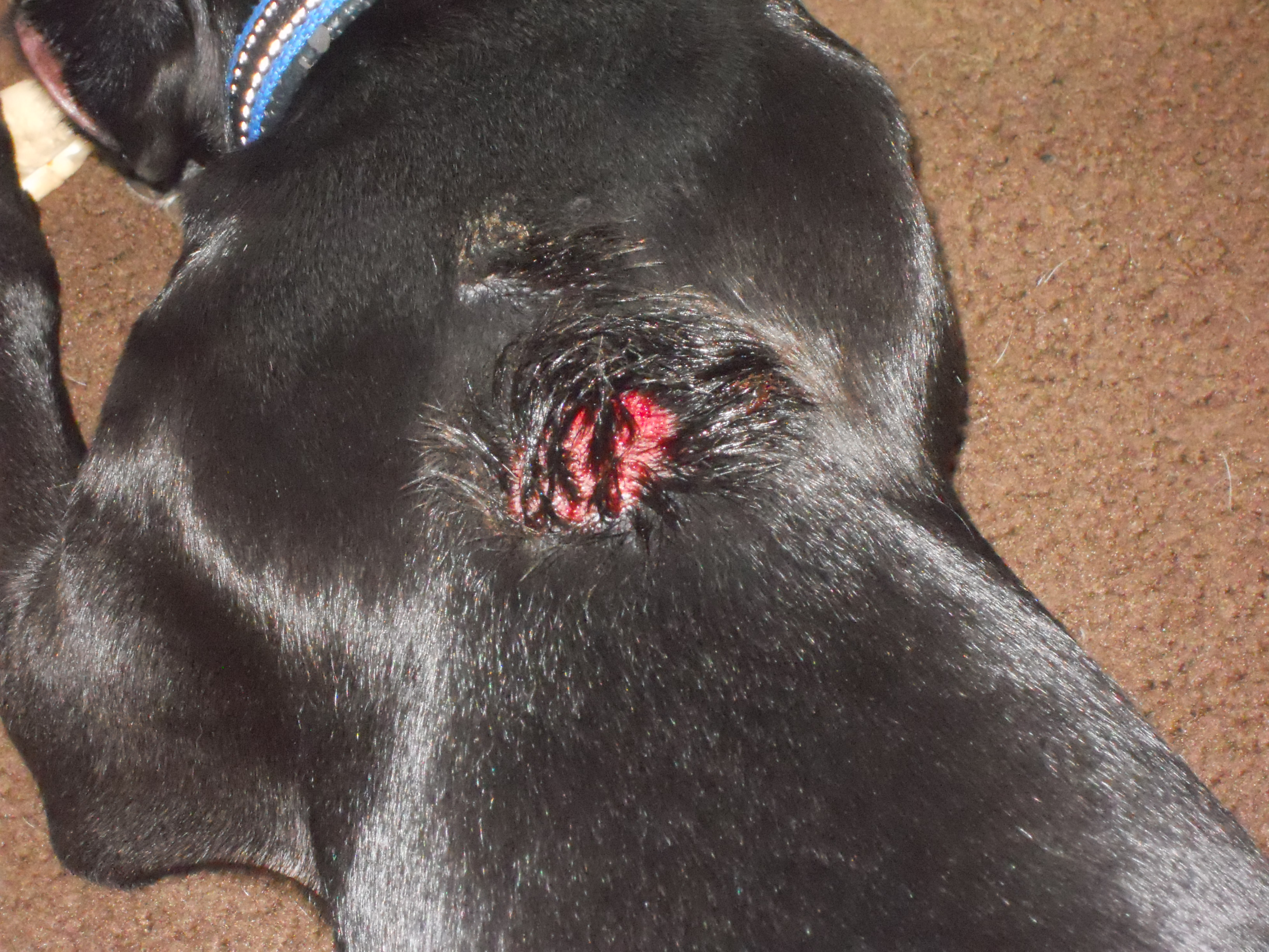 Here's a couple pictures of what this stuff did to my dog, warning ...