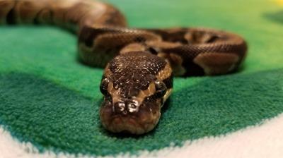 monty-snake